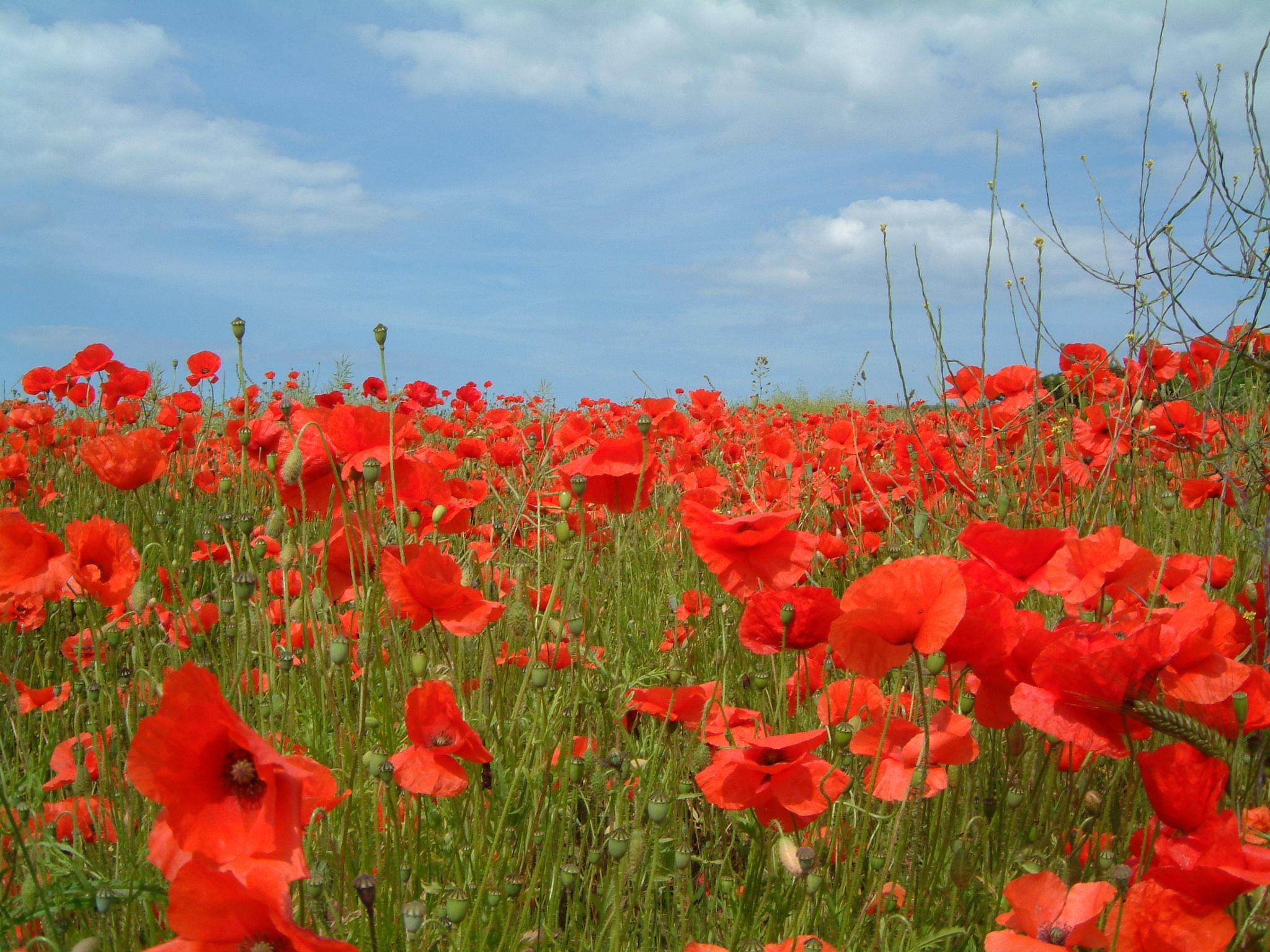 The poppy poems prose song glossophilia poppy mightylinksfo
