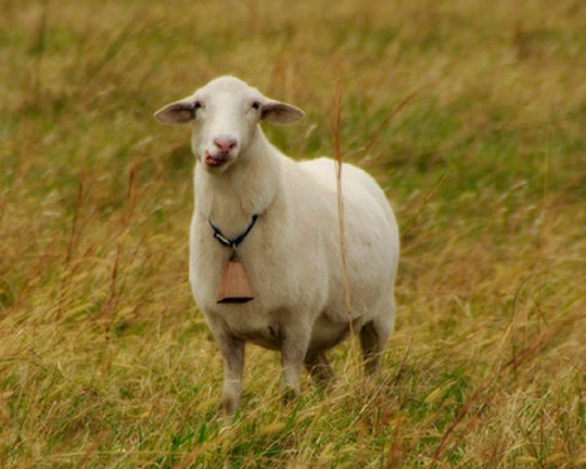 The bellwether sheep, who leads the flock. Photo from Goodreads.