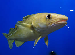 Portrait of Cod; Wikimedia Commons