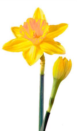 daffodilMarch